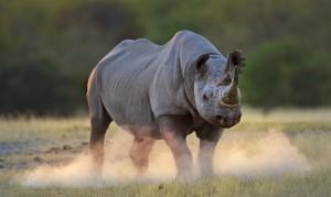 Black rhinoceros kicking up dust at sunset, Etosha National Park, Namibia. © naturepl.com / Tony Heald / WWF