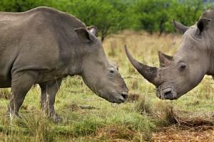 Hembra de rino descornada por furtivos en Natal, Sudáfrica. © Brent Stirton / Getty Images / WWF-UK