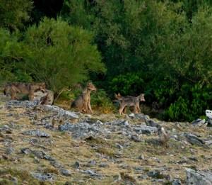 Ejemplares de lobo en Portugal © Artur Oliveira - CSIC.