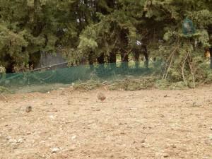 El reclamo trabajando el campo, ante la presencia de un macho y una hembra de perdiz.