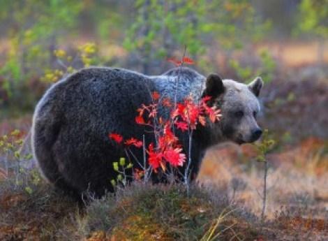 A pesar de sus dimensiones, el oso pardo no es la especie que más ataques ha provocado. El puma y el coyote, aunque de menor tamaño, han sido responsables de la mitad de los ataques registrados.