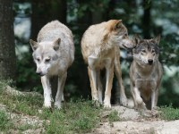 Aclaración de la ONC sobre su noticia sobre la gestión del lobo