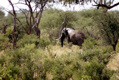 1 elefante en Botswana