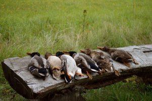 caza menor chequia