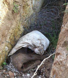 Imagen del cadáver de un jabalí en la zanja. Foto La Tribuna de Ciudad Real.