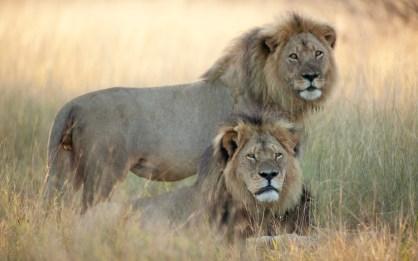 Última foto del león Cecil con su hermano Jerico un mes antes de ser cazado - Photo Brent Stapelkamp.