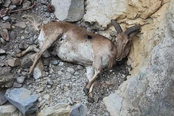 Una de las cabras de las batidas en Gran Canaria. Foto RP.