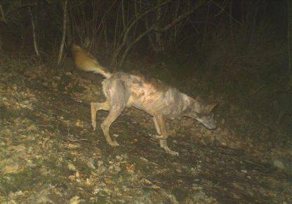 lobo con sarna FAPAS