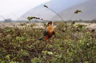 Vuelan los halcones, caen las leyes (legislación cetrera en Chile y Perú)