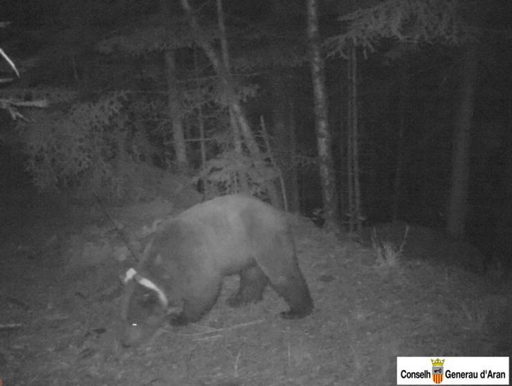 Imagen del oso Goiat, en el Bajo Arán, durante su viaje en dirección a Francia (CONSELH GENERAU D'ARAN).