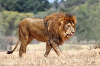 La caza del león es la conservación de la especie