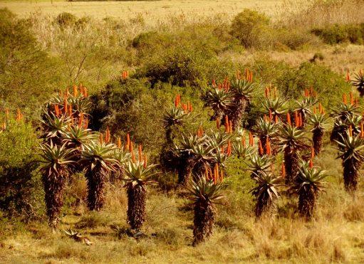 western cape áfrica arbustos de aloe vera en flor