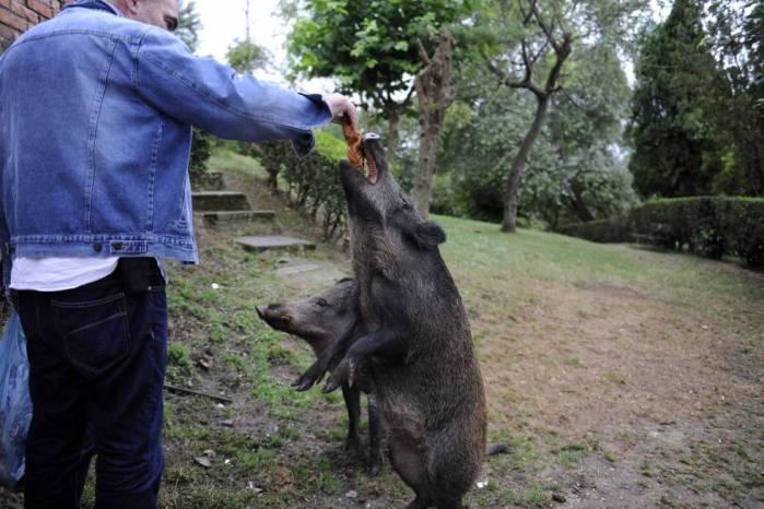 Un vecino alimenta el pasado jueves a un jabalí hembra en Oviedo. PACO PAREDES