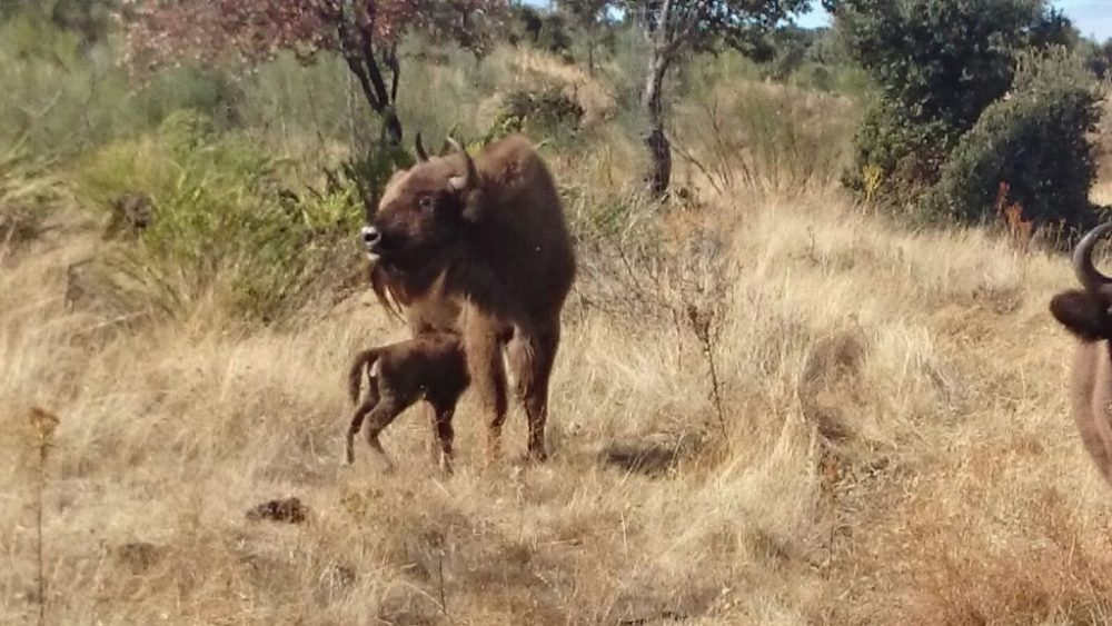 4-bisonte-monfrague