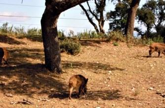 La caza, fundamental para controlar jabalíes: la RFEC coincide con Federcat