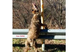 Asturias: aparecen cuatro lobos muertos en tres semanas