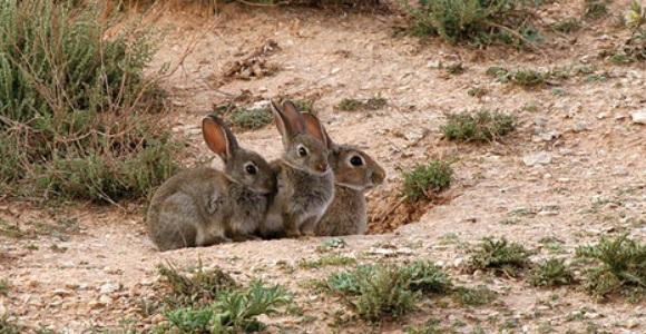 daños por conejos
