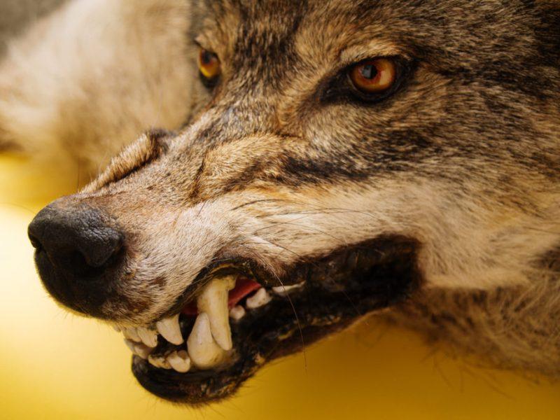 tonto, lobos, jabalíes