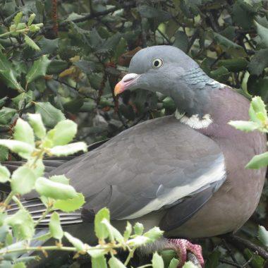 migración de las palomas
