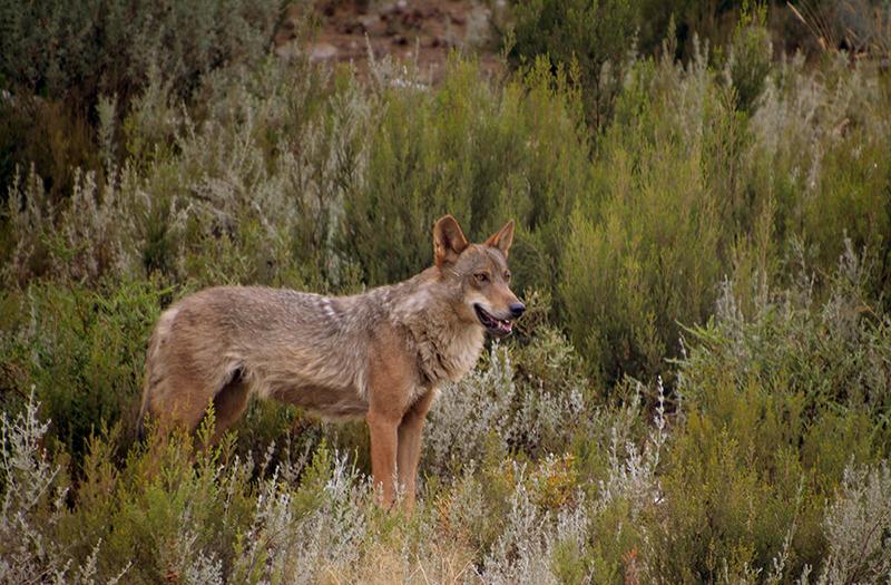 lobos al norte