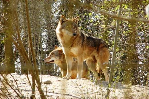 el lobo no será