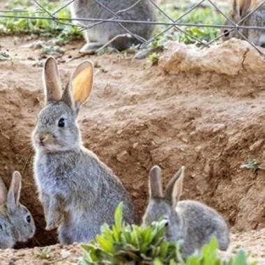 población de conejo