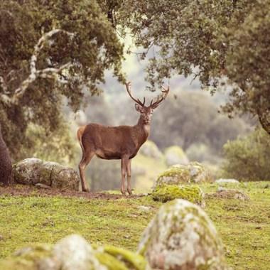 caza un venado