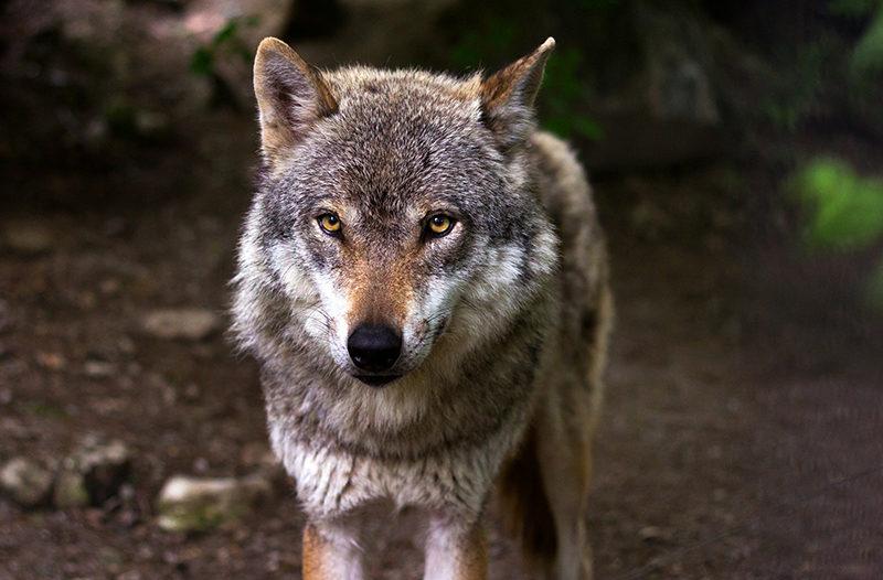 Procurador del Común - lobos