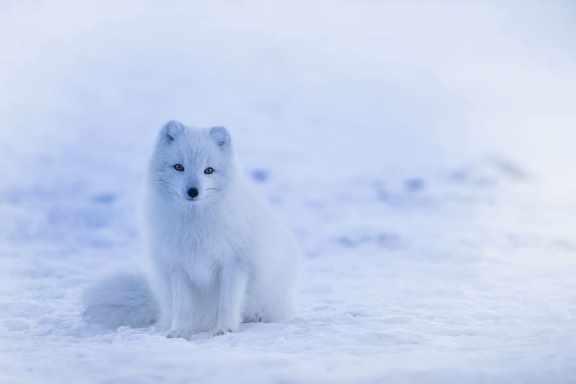 zorro polar Fausto