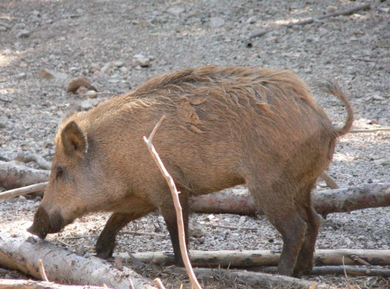 cerdo asilvestrado