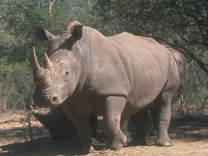 cien rinocerontes