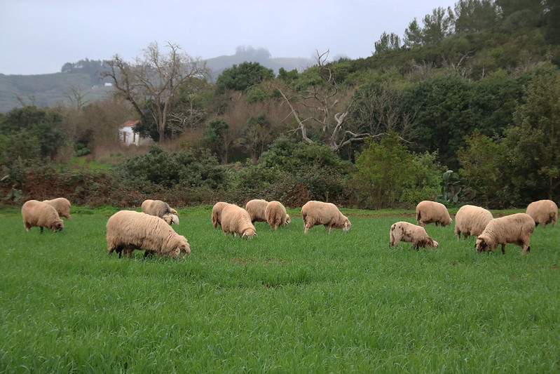 ovejas agronomía