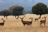 Cabaneros-ciervo-sobreabundancia-IREC-768x445