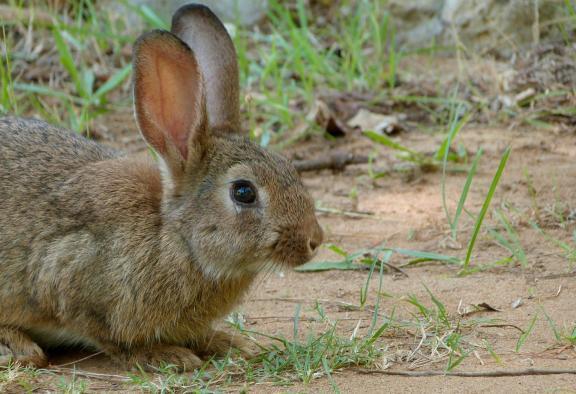 daños conejos en 295 municipios