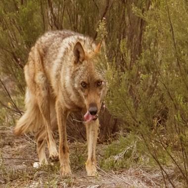 lobo carga a ganaderos