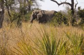Caza de elefantes Botsuana