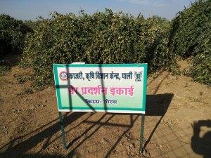 Ber orchard at KVK, Pali