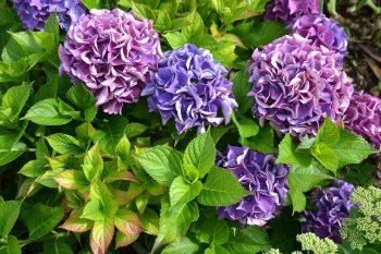 『あじさいの育て方』花が咲かないのは剪定と肥料の時期が原因?