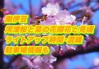 南伊豆の河津桜と菜の花2020開花と見頃!ライトアップ時間・混雑・駐車場情報も!