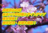 加護坊山の桜2020桜まつりの日程とライトアップ・屋台情報!開花状況・見頃も確認!