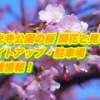 千光寺公園の桜2019開花と見頃!ライトアップ・駐車場・混雑情報!
