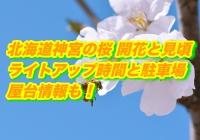 北海道神宮の桜2020開花と見頃!ライトアップ時間と駐車場・屋台情報も!