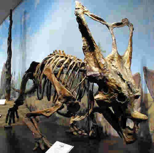 2011-1112_Chasmosaurus_bellis2