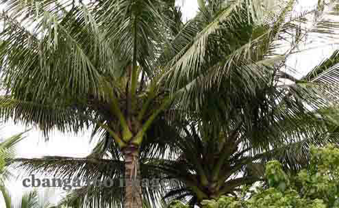 RA #10593 Signed Into Law Prohibits Cutting of Coconut Trees
