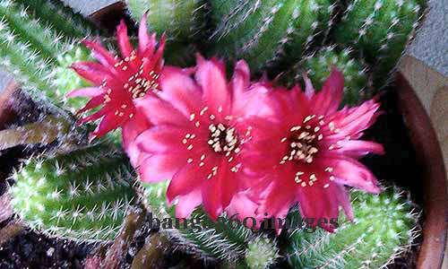 2014_0511_echinopsiscactus