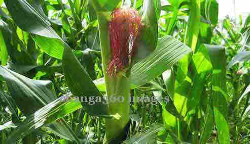 2015_0302_corn2