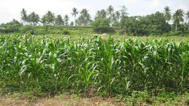 Corn farmers are getting small financing scheme thru credit card