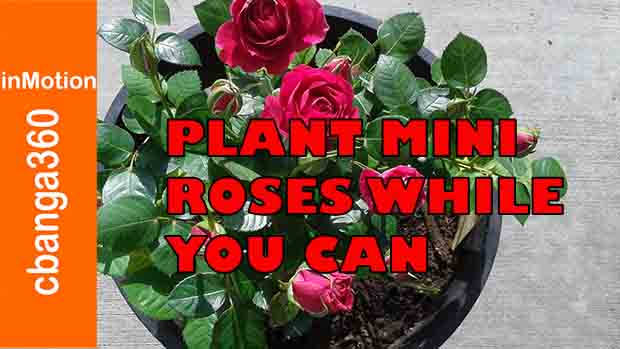 Watch How to Plant Beautiful Mini Roses