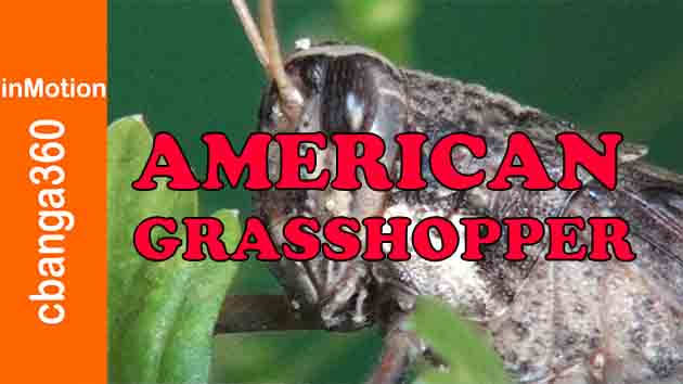 Watch Persistent and Stubborn American Grasshopper
