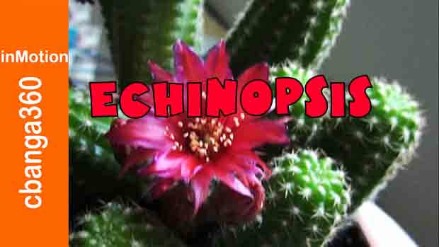 How to Plant Echinopsis Cactus